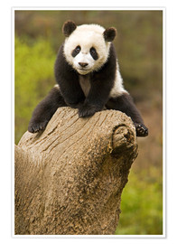 Premiumposter  Panda baby on tree stump - Alice Garland