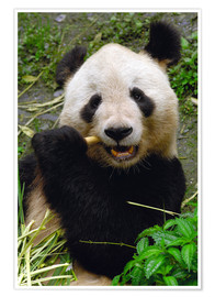 Premiumposter  Panda is chewing on bamboo - Pete Oxford