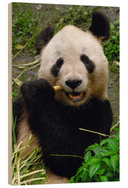 Trätavla  Panda is chewing on bamboo - Pete Oxford