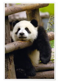 Premiumposter  Panda relaxes on a fence - Pete Oxford