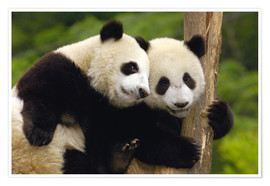 Premiumposter  Young pandas at tree trunk - Pete Oxford