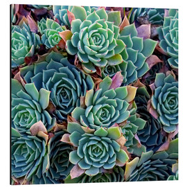 Aluminiumtavla  Colorful succulents - David Wall