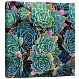 Canvastavla  Colorful succulents - David Wall