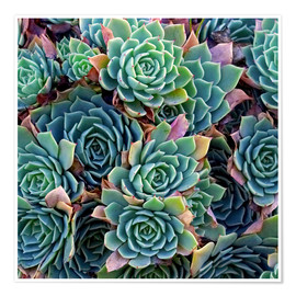 Poster  Colorful succulents - David Wall
