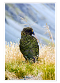 Premiumposter  Kea is sitting in the grass - Fredrik Norrsell