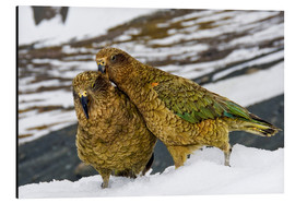 Aluminiumtavla  Two young keas in the snow - Fredrik Norrsell