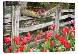 Canvastavla  Tulips in front of a wooden fence - Jamie & Judy Wild