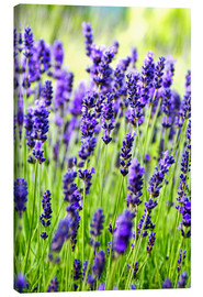 Canvastavla  Lavender on a meadow - Rob Tilley