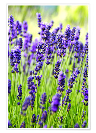 Premiumposter  Lavender on a meadow - Rob Tilley