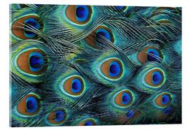 Akrylglastavla  Iridescent feathers of a peacock - Adam Jones