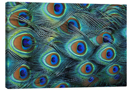 Canvastavla  Iridescent feathers of a peacock - Adam Jones