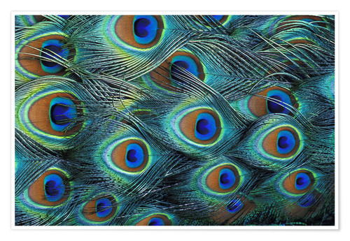 Premiumposter Iridescent feathers of a peacock