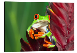 Aluminiumtavla  Red-eyed tree frog on leaf - Adam Jones
