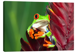 Canvastavla  Red-eyed tree frog on leaf - Adam Jones