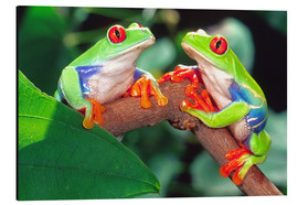 Aluminiumtavla  Two red-eyed tree frogs - David Northcott