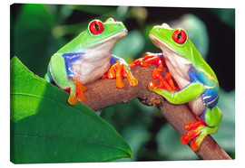 Canvastavla  Two red-eyed tree frogs - David Northcott