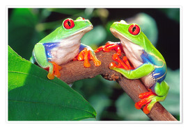 Premiumposter  Two red-eyed tree frogs - David Northcott
