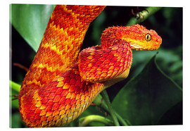Akrylglastavla  Red bush viper on tree - David Northcott
