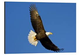 Aluminiumtavla  Bald eagle in flight - David Northcott