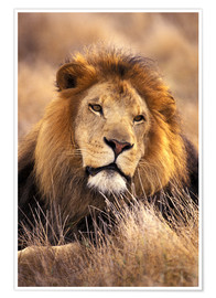 Premiumposter  Male lion in the grass - Stuart Westmorland