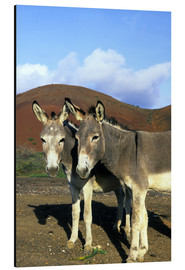 Aluminiumtavla  Two friendly donkeys - Kevin Schafer