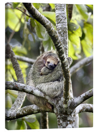Canvastavla  Three-finger sloth rests on tree - Don Grall