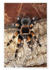 Premiumposter  Red knee tarantula - Adam Jones