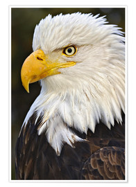 Premiumposter Head of a bald eagle