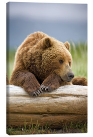 Canvastavla  Brown bear is relaxing on tree trunk - Paul Souders