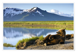Premiumposter  Brown bear relaxes at the lake - Paul Souders