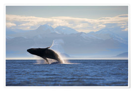 Premiumposter  Humpback whale jumps out of water - Paul Souders