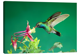 Canvastavla  Broad-billed hummingbird on columbine - Rolf Nussbaumer