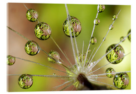 Akrylglastavla  Drops of water on dandelion - Christopher Talbot Frank