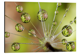 Aluminiumtavla  Drops of water on dandelion - Christopher Talbot Frank