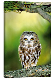 Canvastavla  Northern saw-whet owl - Dave Welling