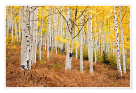 Premiumposter  Aspen forest and ferns in autumn - Don Grall