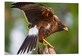 PVC-tavla  Desert buzzard with wide wings - Larry Ditto