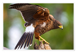 Premiumposter  Desert buzzard with wide wings - Larry Ditto