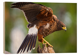 Trätavla  Desert buzzard with wide wings - Larry Ditto