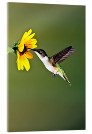 Akrylglastavla  Ruby-throated Hummingbird at sunflower - Larry Ditto