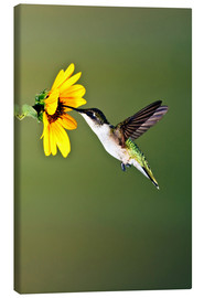 Canvastavla  Ruby-throated Hummingbird at sunflower - Larry Ditto