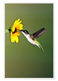 Premiumposter  Ruby-throated Hummingbird at sunflower - Larry Ditto