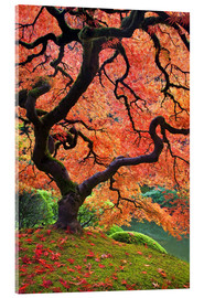 Akrylglastavla  Japanese maple in autumn - Don Paulson