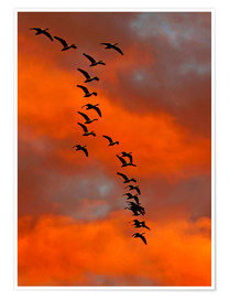 Premiumposter  Snow geese in the sunset - Cathy & Gordon Illg
