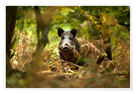 Premiumposter  Boar in the deciduous forest - David Slater