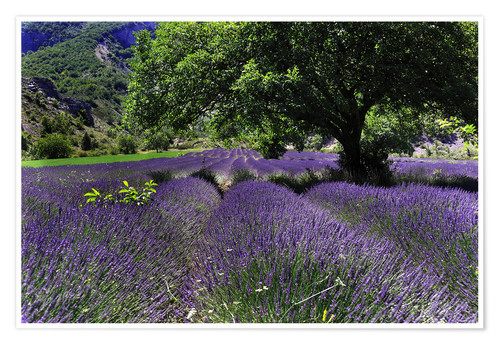 Premiumposter Lavender field with tree