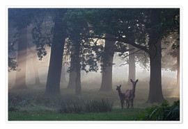 Premiumposter Two red deer in a clearing
