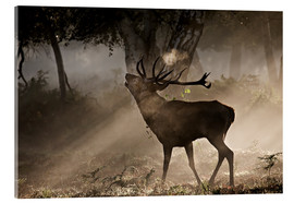 Akrylglastavla  Roaring deer in the morning - Alex Saberi