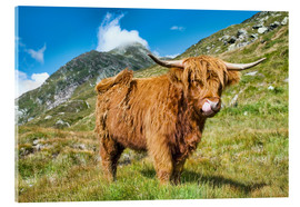 Akrylglastavla  Scottish Highland Cattle - Olaf Protze