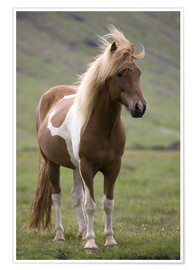 Premiumposter  Iceland horse - Don Grall